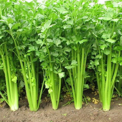 Hạt giống rau cần tây