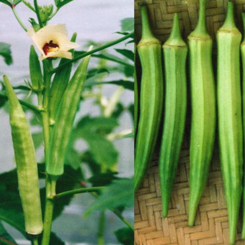 Hạt giống đậu bắp