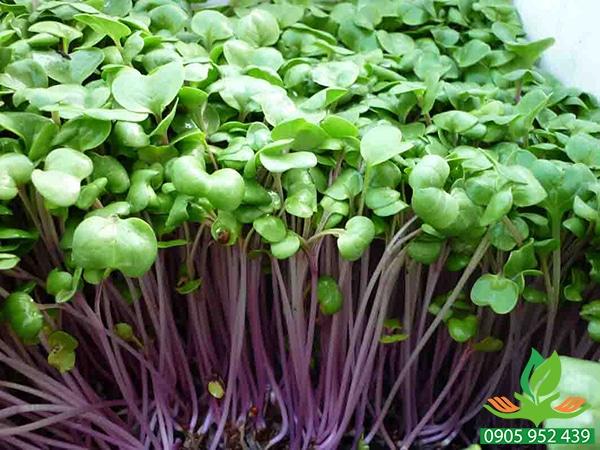 Hạt giống mầm củ cải đỏ