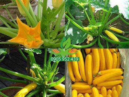 Hạt giống bí ngòi trái vàng