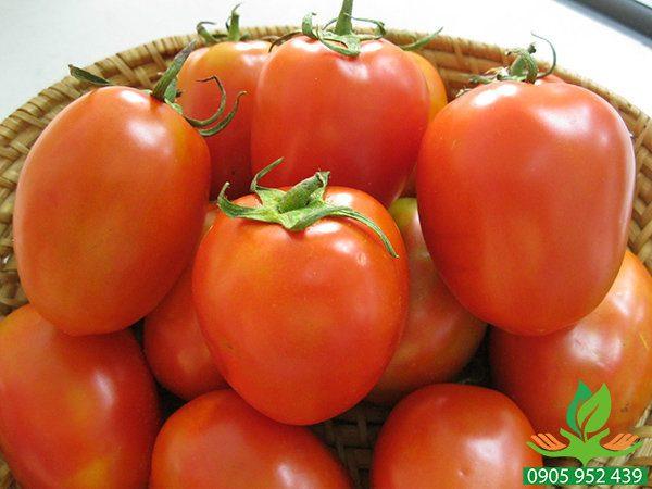 Hạt giống cà chua F1