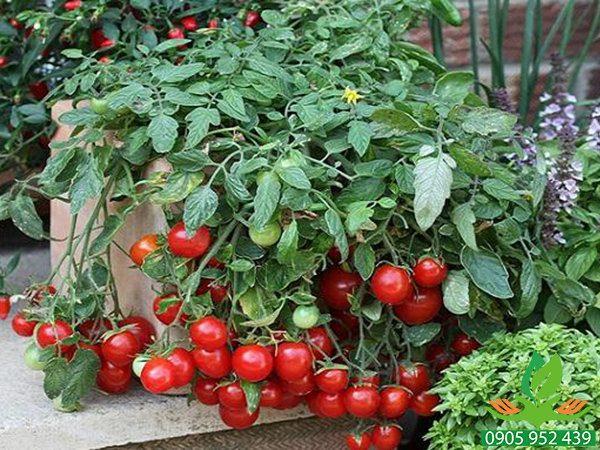 Hạt giống cà chua trồng chậu mini