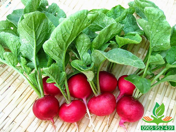 Hạt giống củ cải đỏ tròn
