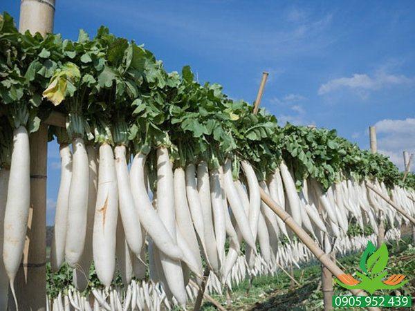 Hạt giống củ cải trắng 55 ngày