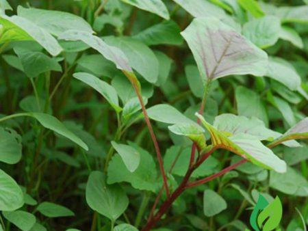 Hạt giống rau dền xanh