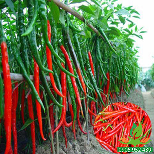 Hạt giống ớt trái dài Hàn Quốc
