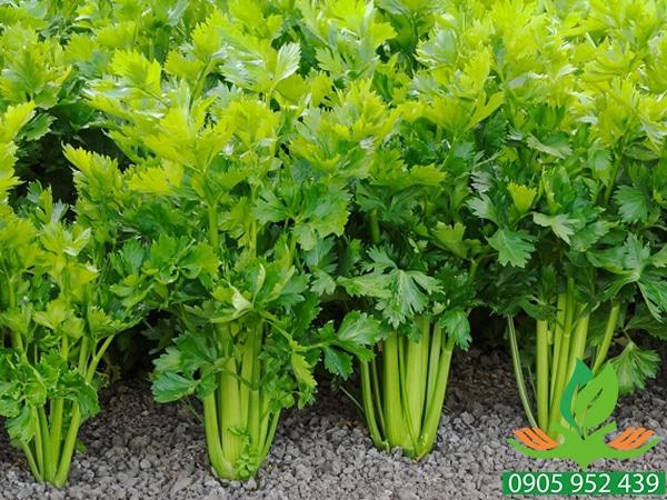 Hạt giống rau cần xanh Đan Mạch