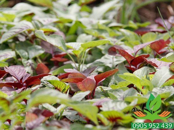 Hạt giống rau dền 3 màu