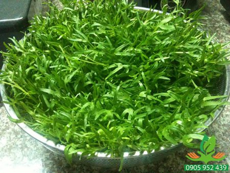 Hạt giống mầm rau muống