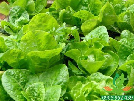 Hạt giống rau xà lách ăn non