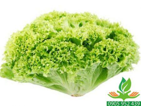Hạt giống rau xà lách chịu nhiệt