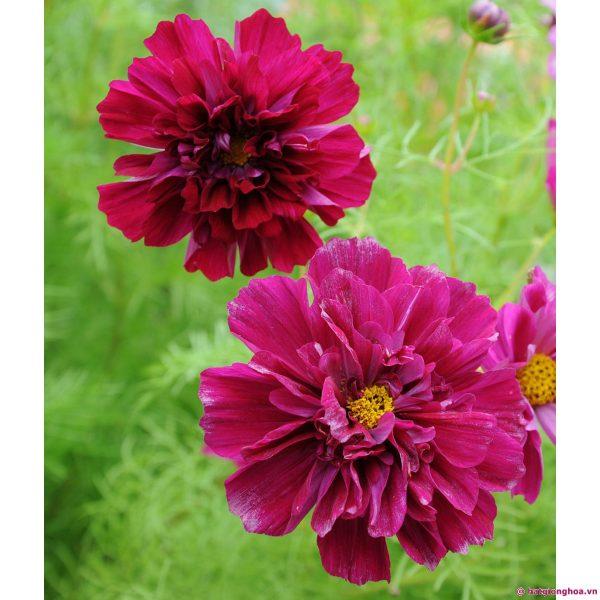 Hạt giống hoa sao nhái kép mix