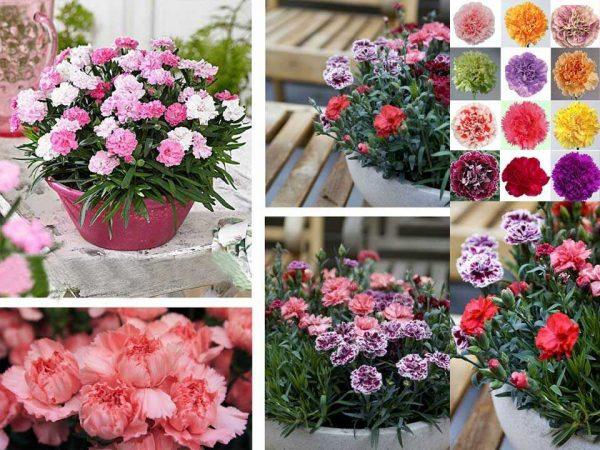 Hoa cẩm chướng mix