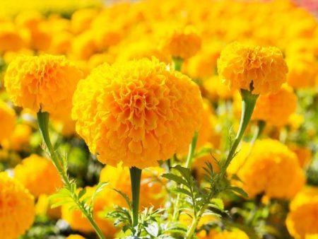 Hoa vạn thọ mỹ mix