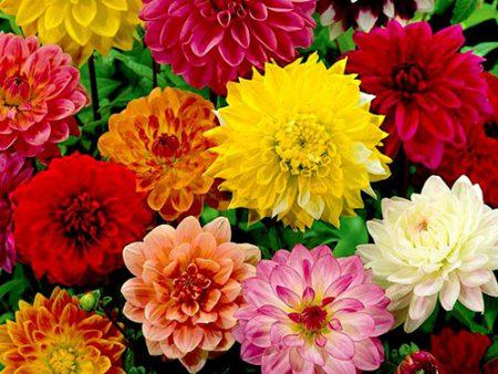 hạt giống hoa thược dược mix