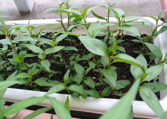 Hướng dẫn trồng rau răm